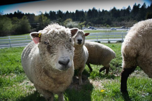 sheep_website